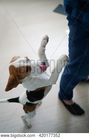 The Dog Stands On The Hind Legs, Asks For Food From Table. Breed Basset Hound.