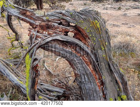 Death Of A Juniper - Rotting Remains Of A Juniper Tree In The High Desert - East Of Redmond, Or