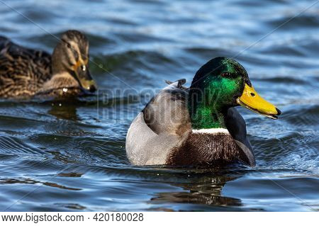 The Mallard, Anas Platyrhynchos Is A Dabbling Duck. Here Swimming In A Lake In Munich, Germany