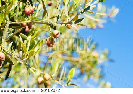 Green Olives On Branch. Olive Tree. Spanish Nature Landscape