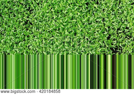 Green Stems And Leaves Of Plants Siderates. Siderates Or Green Fertilizers Are Plants Grown To Impro
