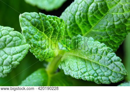 Young Shoots And Leaves Of Aromatic Peppermint Close-up Macro Photography