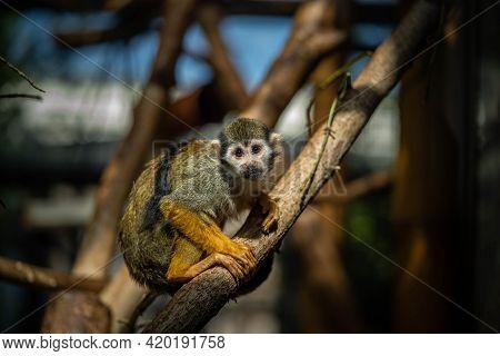 Cute Saimiri Sitting On A Branch, Wildlife