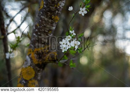 Close-up Of A White Spring Flower In A Plum Tree With A Fuzzy Background With A Pronounced Bokeh