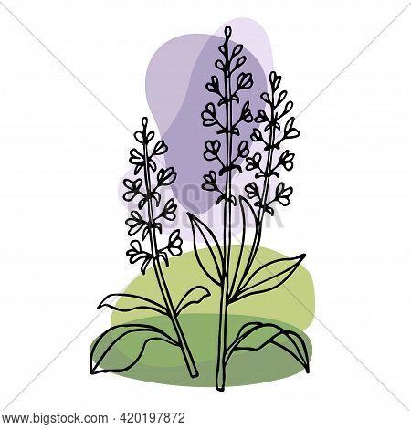 Lavender Plant. Vector Hand Drawn Grass Lavender Illustration. Vintage Sketch Element For Labels, Pa
