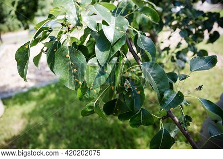 Pear Leaves Are Infected With Rust. Fruit Plant Disease. Influence Of Juniper Spores On Fruit-bearin