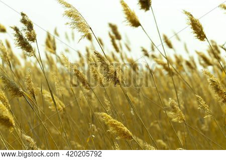 Yellow Feather Grass, Tall Reeds On The Lake Shore