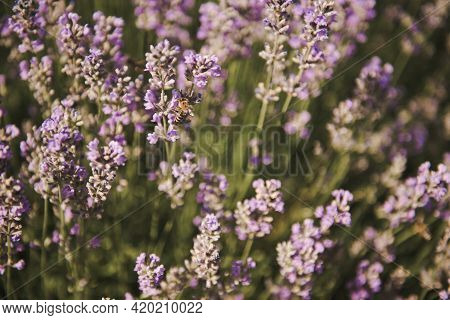 Bee On Lavender .selective Focus On Lavender Flower In Flower Garden. Beautiful Detail Of A Lavender
