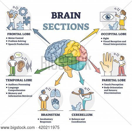Brain Sections And Organ Part Functions In Labeled Anatomical Outline Diagram. Medical Biological Ex