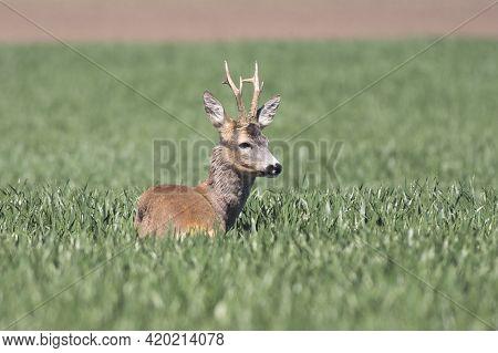 Mature Roe Deer In A Green Wheat Field