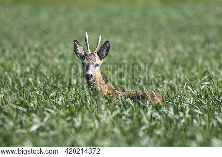 Roe Deer In A Green Wheat Field