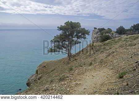 A Relict Treelike Juniper (juniperus Excelsa) At The Cliff At The Top Of Cape Alchak.  Sudak, Crimea