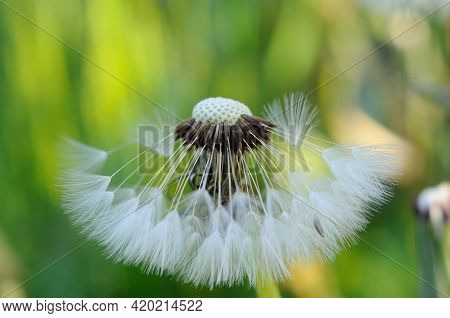 Dandelion With White Stamens In Spring Closeup. Shallow Depth Of Field