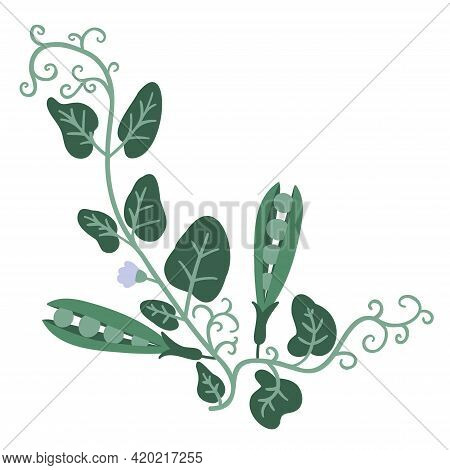Sprouts Of Green Peas With Flowers And Peas Hand Drawn Vector Illustration Isolated On White Backgro