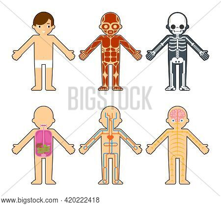 Body Anatomy For Kids. The Skeleton And Muscles, Nervous System And Circulatory System Infographics
