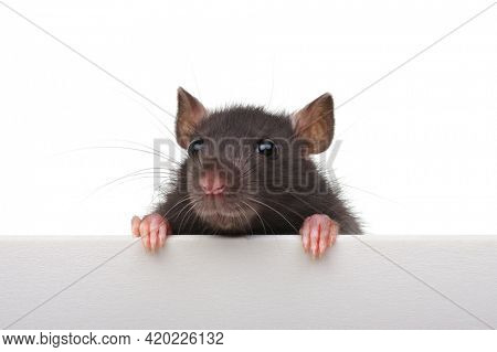 Funny rat isolated on white background. Looking close up because of an advertising banner.