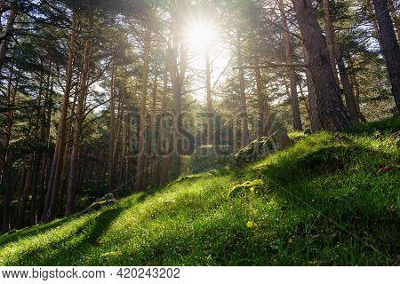 Enchanted Forest With Green Grass And Sunlight Streaming Through The Tall Trees. Guadarrama Madrid S