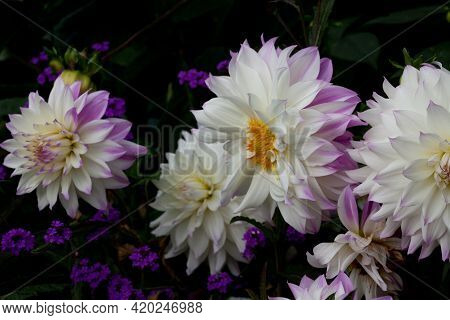 Beautiful And Vivid White Dahlias With Purple Tips Against A Dark Background