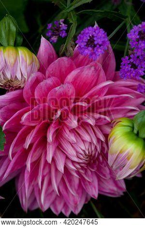 Beautiful And Vivid Cerise Dahlia Flower And Buds