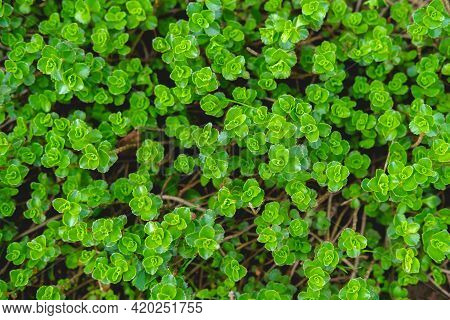 Stonecrop Flowers In Spring Without Buds.