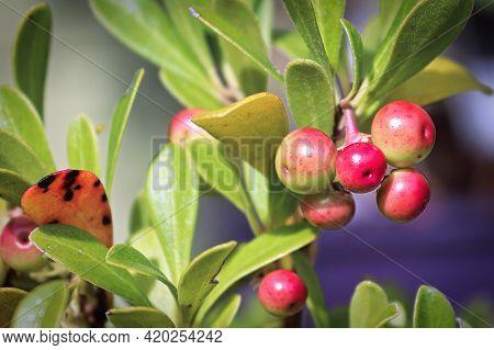Tiny Berries On A Kinnikinnick Plant Ripen Red