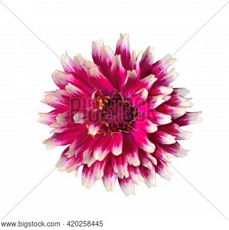 Beautiful Terry Vivid Pink Zinnia Flower With White Edges Of Petals, Isolated On White Background, M