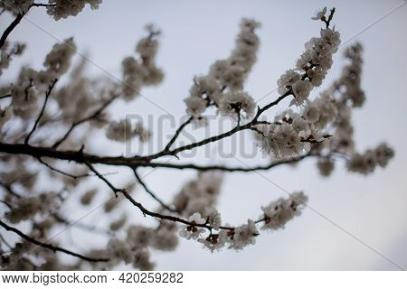 Beautiful Apricot Trees Blossom In The Garden. Shallow Depth Of Field. Soft Focus. Apricot Tree, Bra