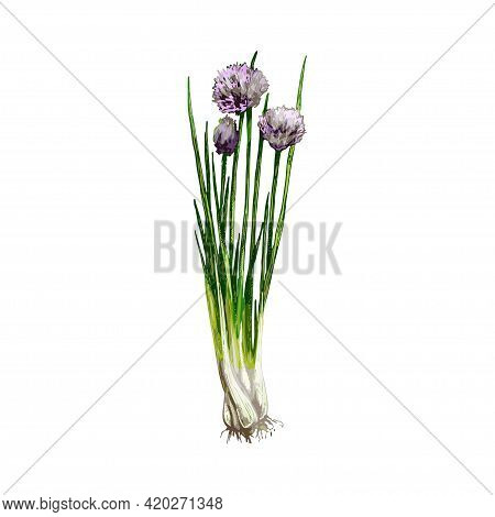 Chives Fresh Green Branches With Flowers And Leaves. Vintage Vector Hatching Color Hand Drawn Illust