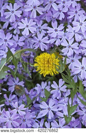 A Dandilion Flower Fights For Survival Amid A Crowd Of Flowering Creeping Phlox In A Spring Garden