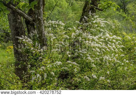 White Blooming Chinese Privet Shrub Growing In A Damp Wet Area In The Forest Covering A Large Tree I