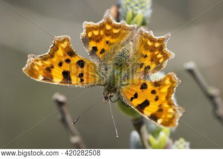 A Butterfly Polygonia C-album On Pussy-willow Branches With Catkins, Spring Background. Butterfly On