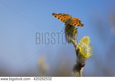 A Butterfly Polygonia C-album On Pussy-willow Branches With Catkins. Butterfly On A Willow Branch. M
