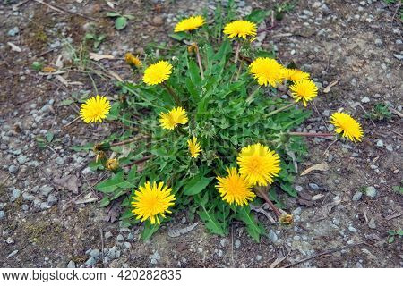 Blooming Dandelion. Close Up Of Blooming Yellow Dandelion Flowers On Spring Time.used As A Medical H