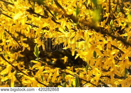 Yellow Forsythia Hedge In Bloom With Vast Floral Density