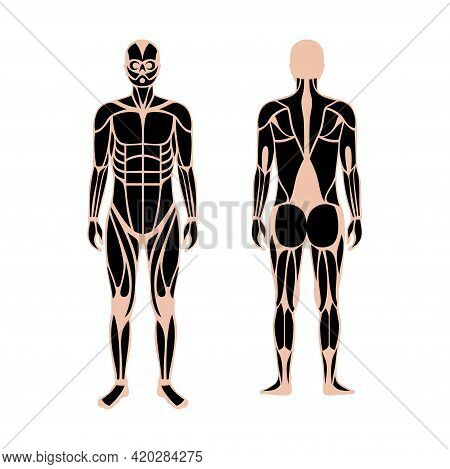 Human Muscular System. Structure Of Muscle Groups And Ligaments Of Men In Front And Back View. Bicep