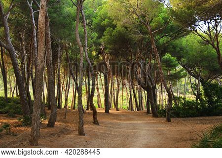 Beautiful Forest With Footpath In Spain In Mallorca In Summer. A Path In An Unusual Forest With Tall