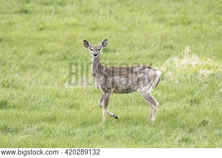 A White Tail Deer Stands In A Grassy Field Near Newman Lake, Washington.
