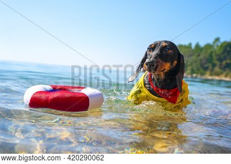 Cute Dachshund Dog Started To Sink And Lifeguard Threw It Inflatable Lifebuoy, Front View. Funny Pup
