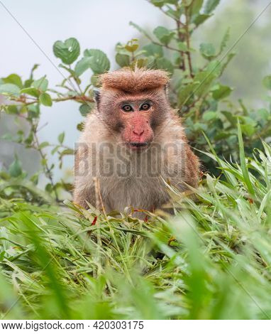 Toque Macaque Staring At The Camera, The Foggy Steep Slope Behind Him, Cold Rainy Forest Habitat Of