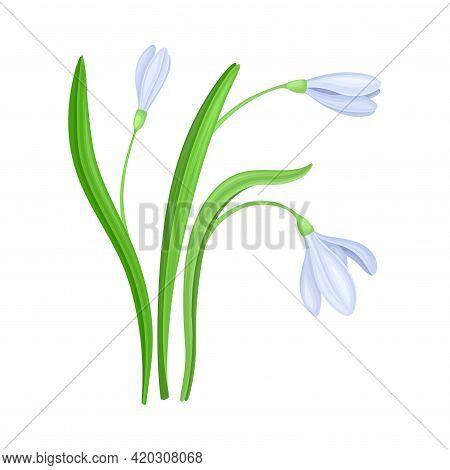Violet Snowdrop Flower Or Blossom On Stalk Or Stem With Linear Leaves Vector Illustration