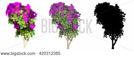 Set or collection of  Bougainvillea bushes, painted, natural and as a black silhouette, isolated on white background. Concept or conceptual 3d illustration for nature, ecology and conservation