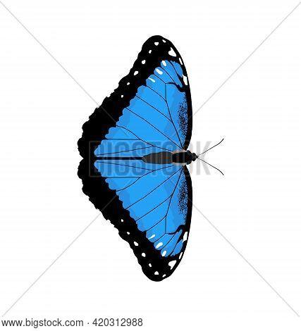 Morpho Peleides - Peleides Blue Morpho - Dorsal View - Flat Vector Isolated