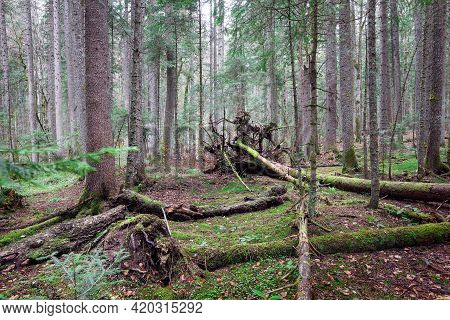 Green forest nature. Ancient green forest. Nature. Pine forest. Natural environment. Forest nature. Red pine trees in nature. Nature forest, branches and trees. Travel in nature.