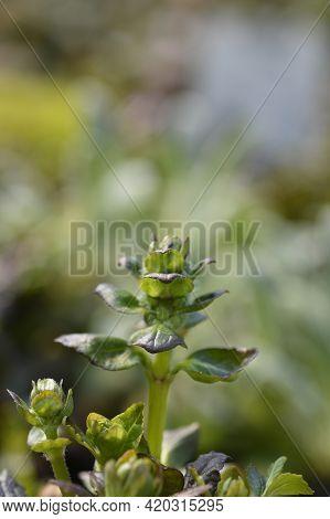 Bugle Multicolor - Latin Name - Ajuga Reptans Multicolor