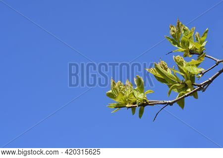 Amur Maple Branches Against Blue Sky - Latin Name - Acer Tataricum Subsp. Ginnala