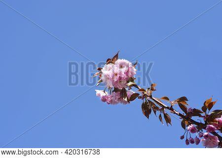 Japanese Flowering Cherry Kanzan Branch Against Blu Sky - Latin Name - Prunus Serrulata Kanzan