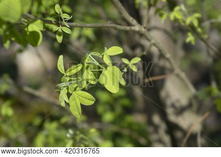 Dalmatian Laburnum Leaves - Latin Name - Petteria Ramentacea
