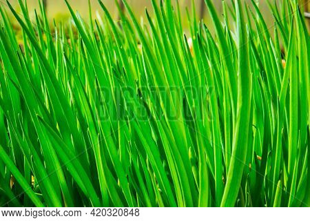 Scallions Or Green Onions, Spring Onions, Or Salad Onions. Young Spring Green Leaf Leaves Growing In