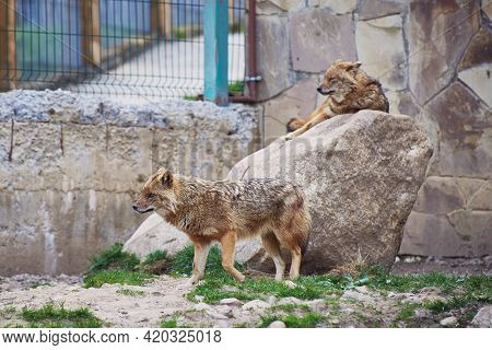 One Jackal Is Resting On A Rock, And The Other Is Walking Around The Enclosure. Nature Reserve.