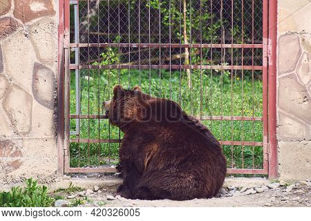 A Huge Brown Bear Looks Through The Bars Of The Enclosure And Dreams Of Freedom. A Predator In Capti